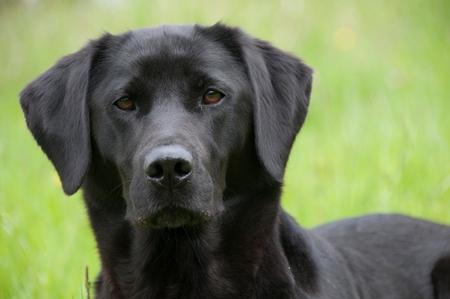 A black retriever in a field Stock Photo