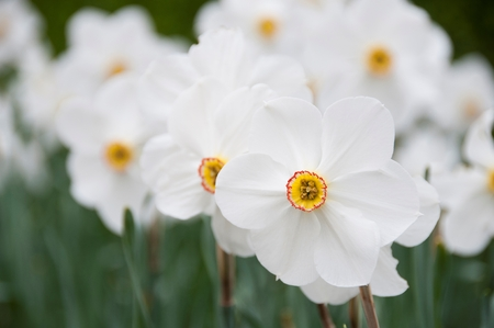 a close-up of a Narcissus flower 免版税图像