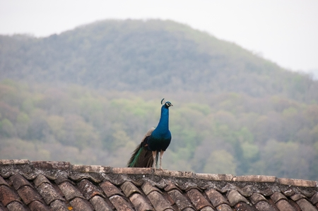 A peacock in on a rooftop Stock Photo