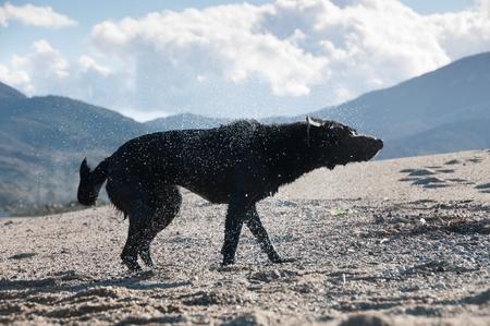 A black retriever shaking to get dry