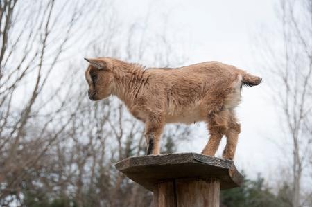 A baby goat on a far Banco de Imagens - 97809055