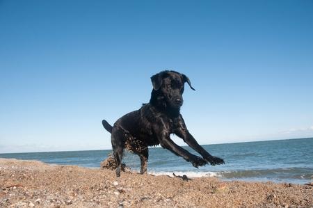 A black retriever by th beach