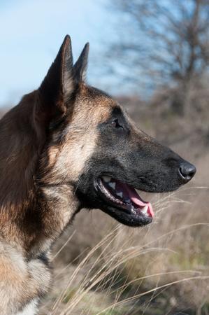 A close-up  of a german shepherd