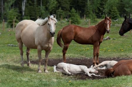 Horses in a ranch, Northern Alberta, Alberta, Canada