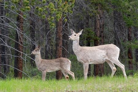 Deer in a forest, Jasper National Park, Alberta, Canada