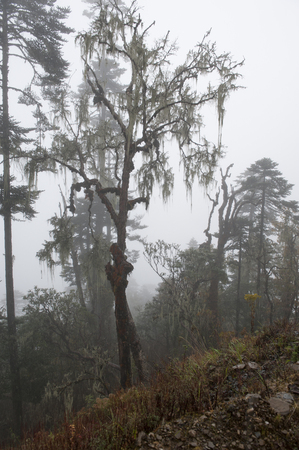 Fog covered trees in a forest, Pele La Pass, Bhutan Banco de Imagens