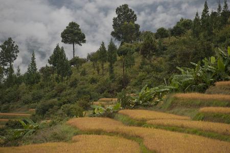 Terraced field, Punakha Valley, Punakha District, Bhutan Banco de Imagens - 97808486