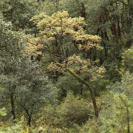 Trees in a forest, Tango Goemba, Thimphu, Bhutan Banco de Imagens - 97737104