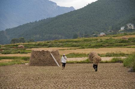 Farmers working in a rice field, Punakha District, Bhutan