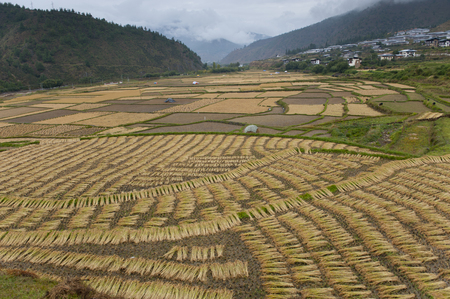 High angle view of a rice field, Paro Valley, Paro District, Bhutan Stock Photo