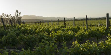 カサブランカバレーのブドウ園の眺め 写真素材
