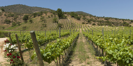 View of a vineyard in Casablanca Valley, Chile