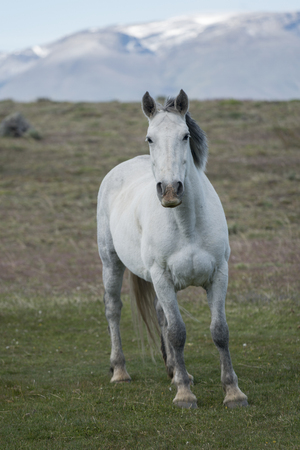 Horse in field, Torres del Paine National Park, Patagonia, Chile Stock Photo