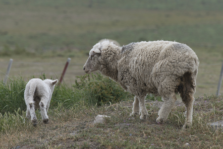 Sheep at farm, Torres del Paine National Park, Patagonia, Chile