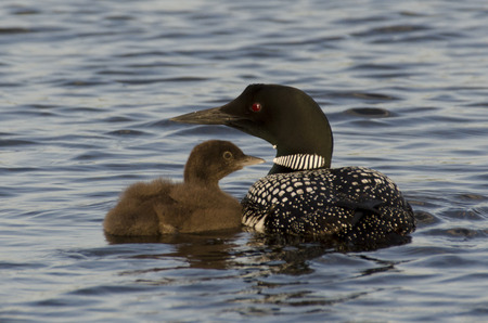 Common Loon (Gavia immer) with its young one in a lake, Lake Of The Woods, Ontario, Canada