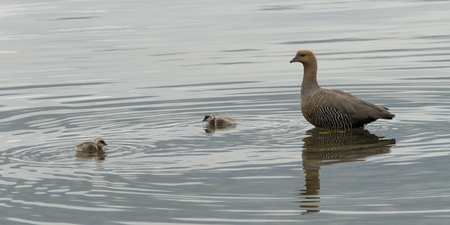 Duck with ducklings in a lake, Puerto Natales, Patagonia, Chile