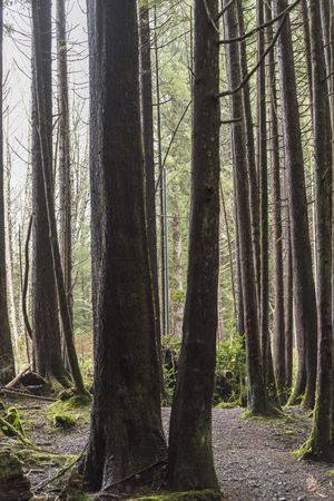 Trees in a forest, Pacific Rim National Park Reserve, British Columbia, Canada