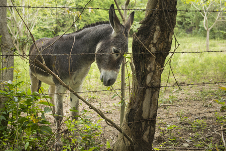 Donkey standing against a fence at a farm, Yelapa, Jalisco, Mexico