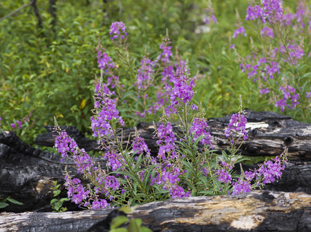 Close-up of wildflowers blooming, Going-to-the-Sun Road, Browning, Glacier National Park, Glacier County, Montana, USA