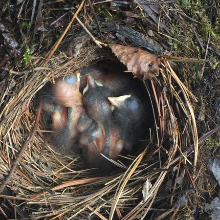 High angle view of Robins chicks in nest, Kenora, Lake of The Woods, Ontario, Canada