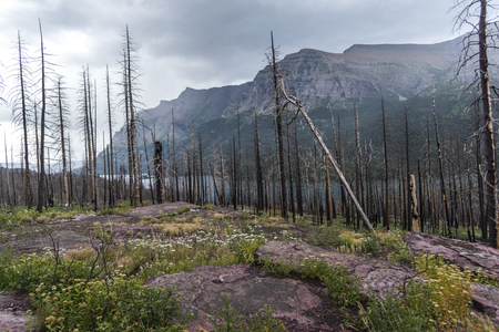 Dead trees in a with mountain range in the background, Going-to-the-Sun Road, Glacier National Park, Glacier County, Montana, USA