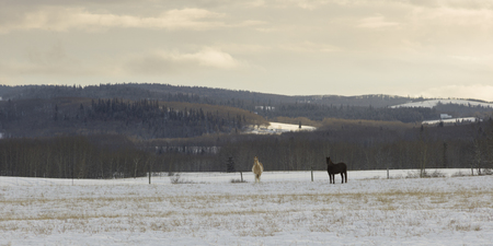 Horses standing in snow covered field, Turner Valley, Cowboy Trail, Millarville, Alberta, Canada Banque d'images