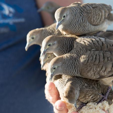 Pigeons feeding from a person's hand, Waikiki, Honolulu, Oahu, Hawaii, USA