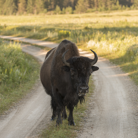 Bison standing on a dirt road, Lake Audy Campground, Riding Mountain National Park, Manitoba, Canada