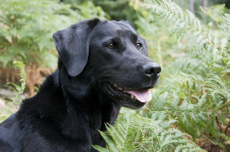 Labrador amoungst bracken Stock Photo
