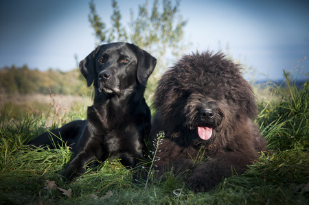 Portrait of a Labrador and Bouvier Des Flandres dogs laying down Stock Photo