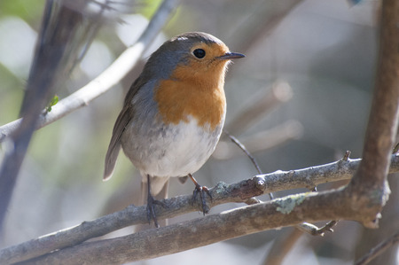 Robin perched on a branch Stock Photo
