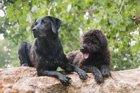 Portrait of a Labrador and a Bouvier Des Flandres puppy together Stock Photo