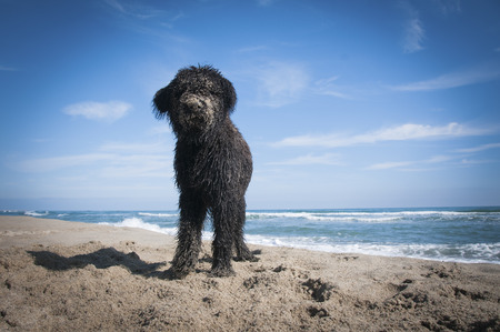 A Bouvier Des Flandres puppy covred in sand after digging on the beach Stock Photo