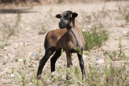 Cameroon Sheep Lamb