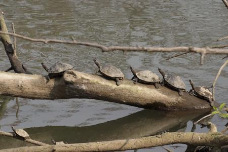 Assam roof turtles basking Stock Photo
