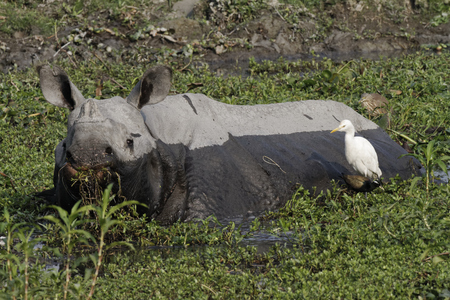Indian rhino feeding in overgrown pond
