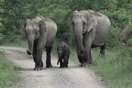 Asian elephant mother and aunt with calf