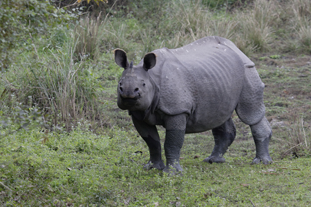Indian rhino being curious