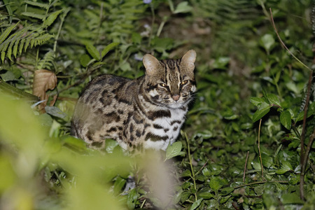 Leopard cat sitting in the undergrowth Stock Photo
