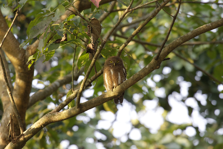 Asian barred owlet roosting