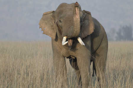 Asian elephant bull in musth sniffing