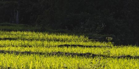 Rice crop growing in field, Kamu Lodge, Ban Gnoyhai, Luang Prabang, Laos