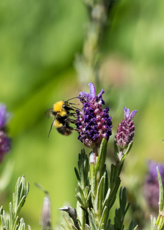 Bumblebee collecting nectar from Lavender flower