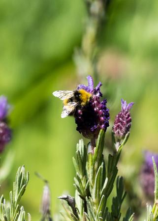 Bumblebee polinating lavender flower