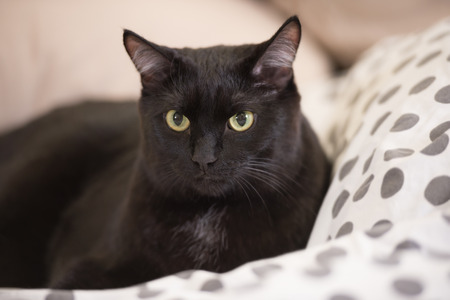 Lazy big black cat laying on bed Stock Photo