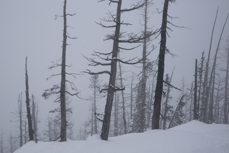 Trees on snow covered mountain, Whistler, British Columbia, Canada 写真素材