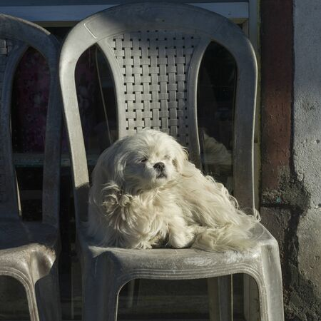 White puppy sitting on a chair, Darjeeling, West Bengal, India 스톡 콘텐츠