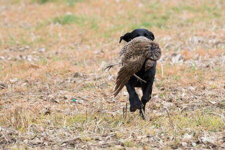Black labrador retrieving a hen pheasant across a field of stubble 스톡 콘텐츠