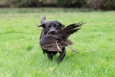 A black labrador retrieving a melanistic male pheasant 스톡 콘텐츠