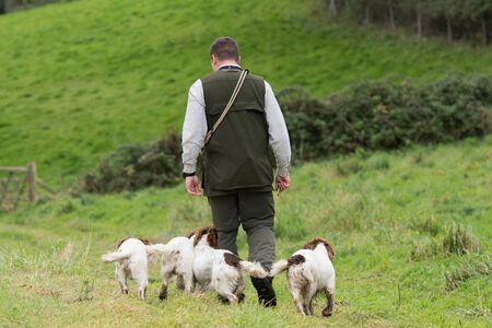 Man walking his four working springer spaniels 스톡 콘텐츠